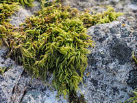 Liverworts, Mosses and Lichens